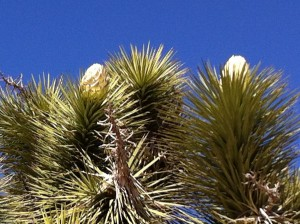 A Joshua Tree just about to bloom.