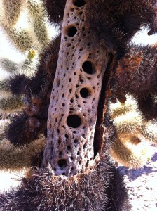 The inside of a cactus plant is a hard wood.