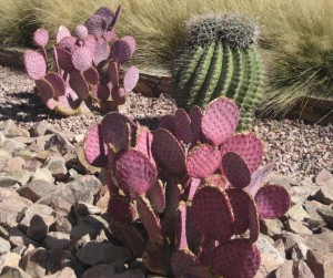 Purple Prickly Pear - source of much goodness.