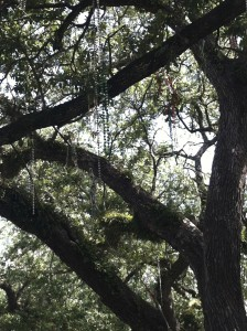 Beads permanently adorn the trees along the parade routes